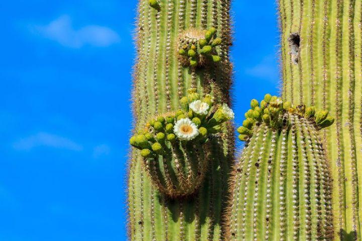 Pinterest Foto: Sahuaros en Sonora