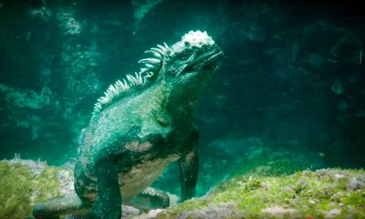iguanas marinas galapagos
