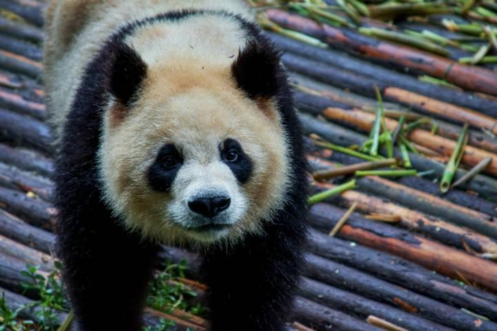 Osos Panda. Foto: Ian Mcgrory