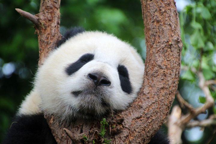 Parque Nacional de Osos Panda en China. Foto Cimberley.