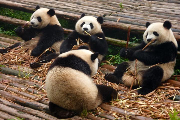 Parque Nacional de Osos Panda en China. Foto Pxhere.