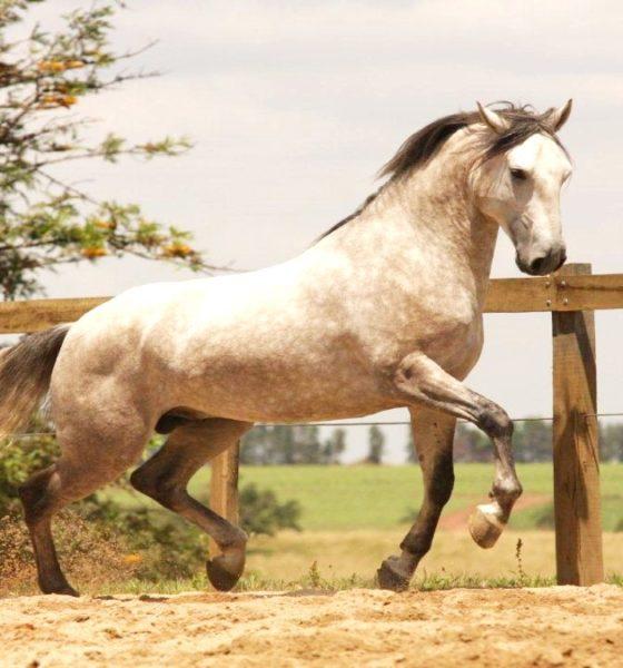 Festival-Internacional-del-Caballo-Lusitano-en-Querétaro-foto-caballos-lusitanos-1