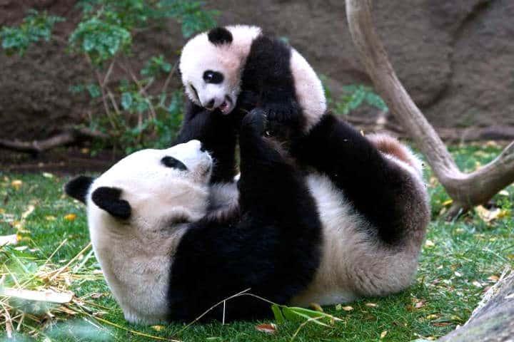 osos panda parque nacional 01
