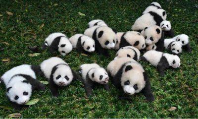 osos panda parque nacional 02