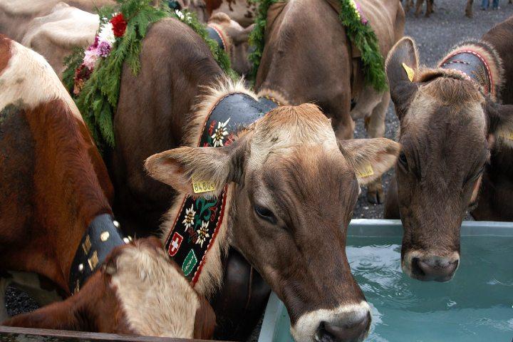 Fiesta de las vacas en Suiza. Foto Pixabay