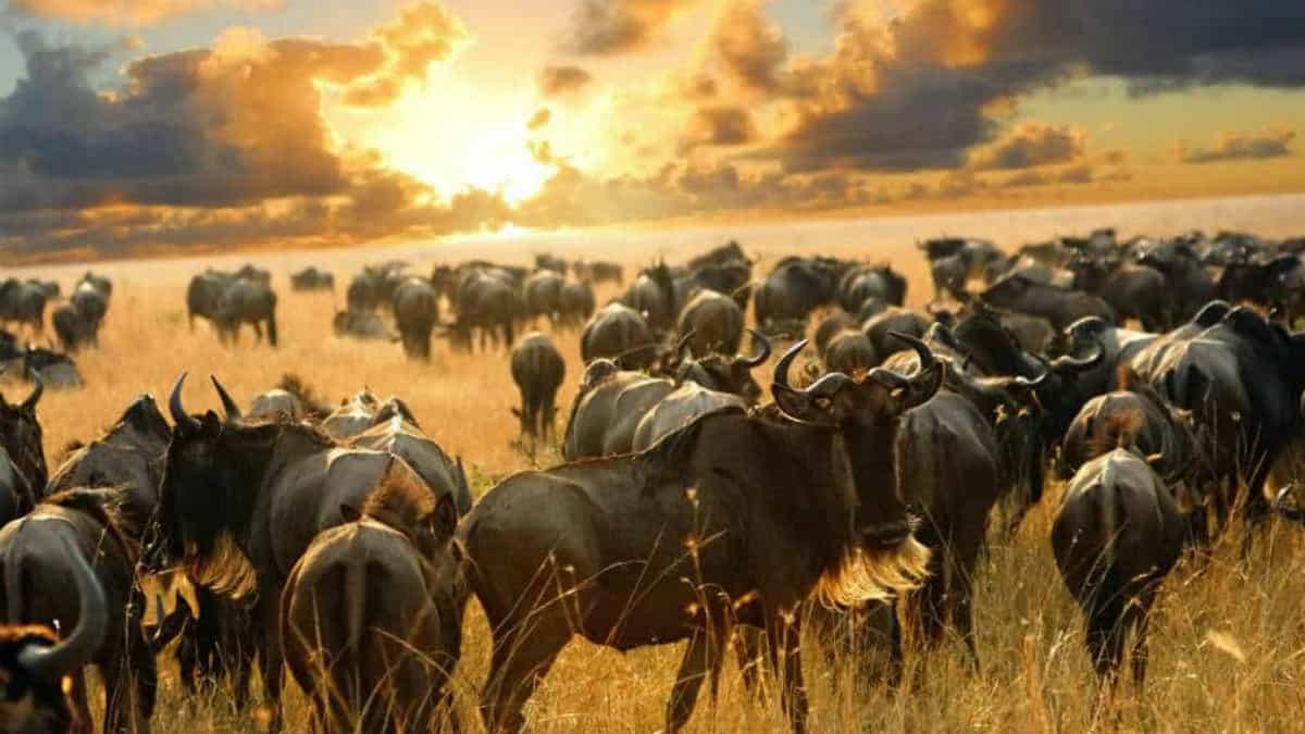 Gran migración del Serengueti Foto Archivo