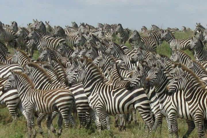 Imagina observar a cientos de miles de zebras acompañando a los ñus en esta gran migración Foto Archivo