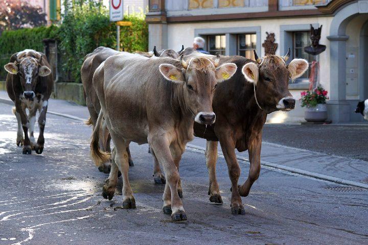 fiesta de las vacas en Suiza. Foto Marcel Langthim