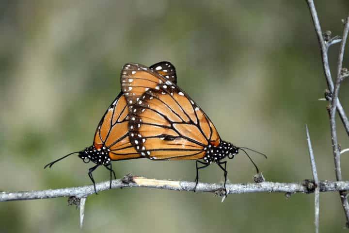 mariposas el cielo tamaulipas Foto Armando Aguayo Rmariposas el cielo tamaulipas Foto Armando Aguayo R