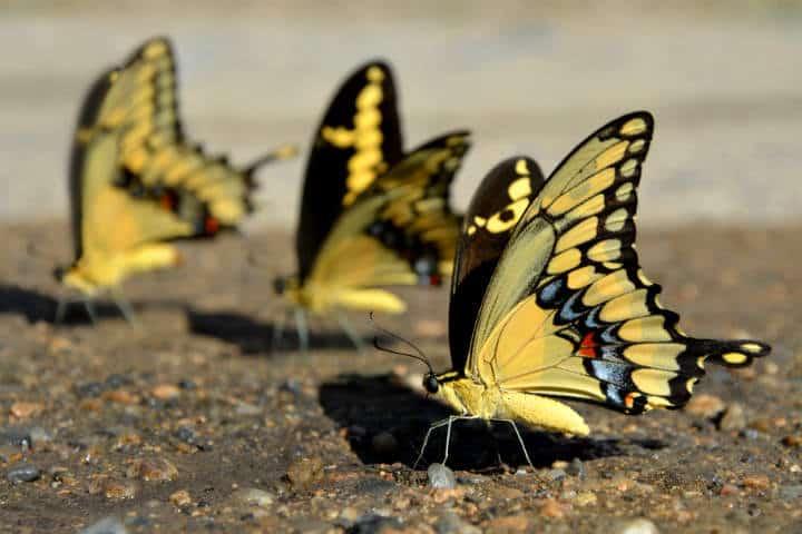 mariposas el cielo tamaulipas foto Armando Aguayomariposas el cielo tamaulipas foto Armando Aguayo