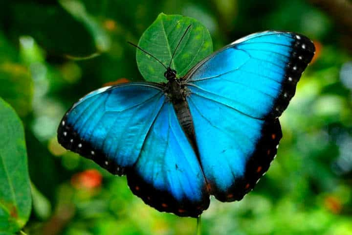 mariposas el cielo tamaulipas morpho