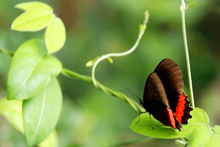 mariposas el cielo tamaulipas negra rojo Foto Armando Aguayo R