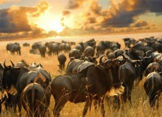 migracion-serengeti-4