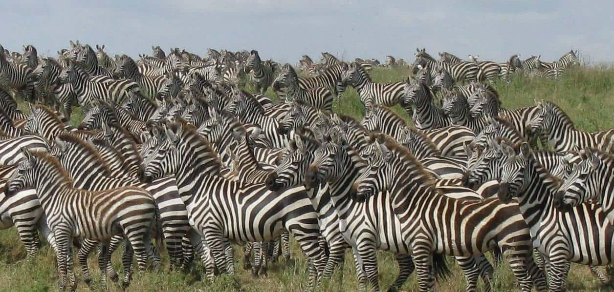migracion-serengeti-5