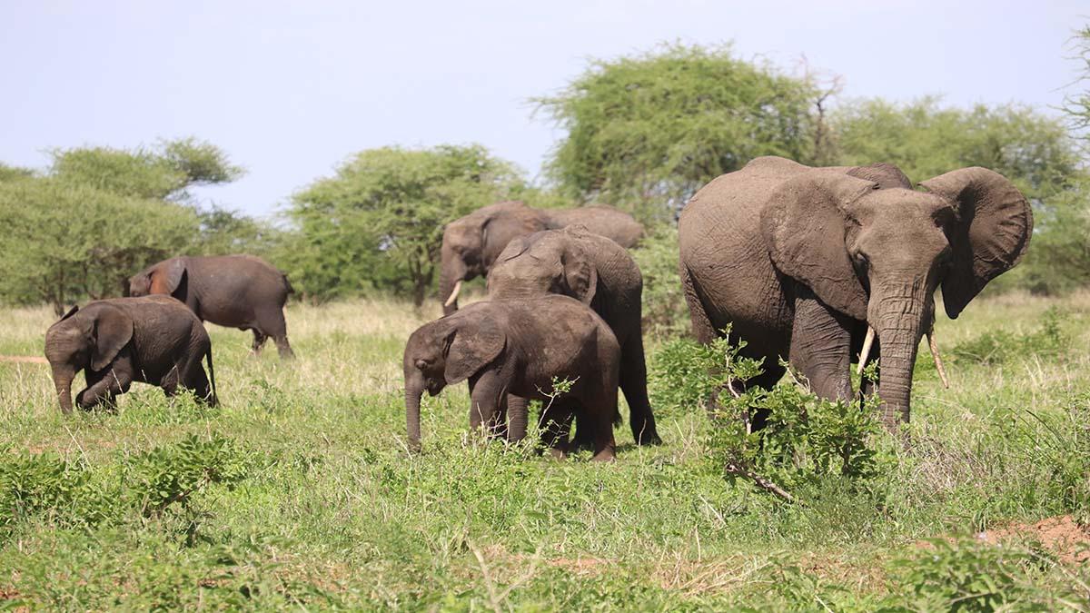 Serengeti elefantes. Foto. Sofia Zubiria
