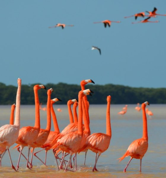 Flamencos-rosados-yucatan-portada-foto-jet-news-portada