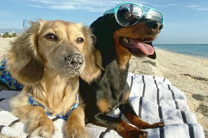 Foto Crusoe the Celebrity Dachshund