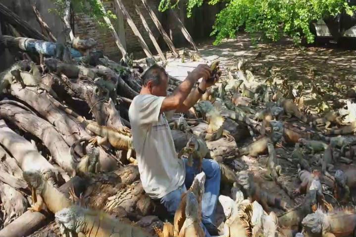 iguanas manzanillo