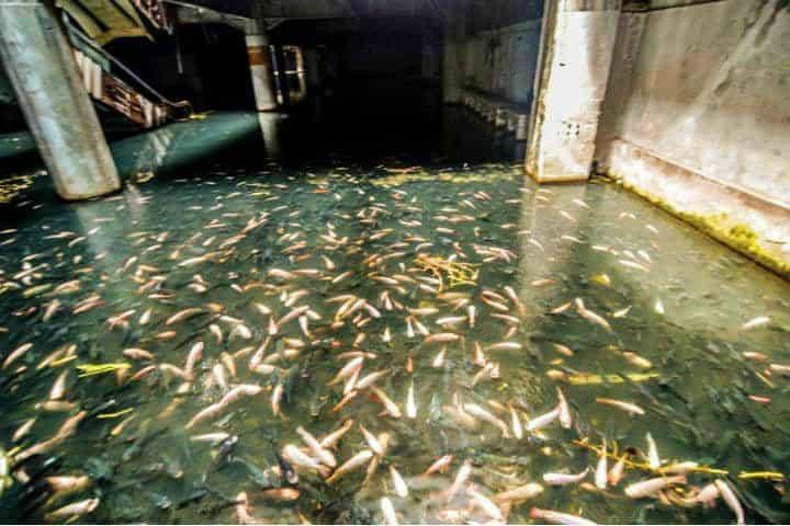 La cantidad de esta especie de pez era inmensa Foto John Melic