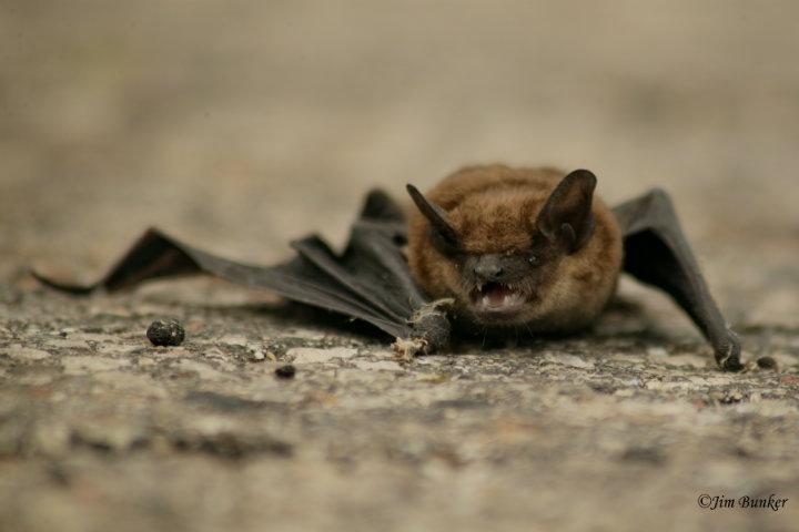 Murciélago en su habitat natural Foto por: James Bunker