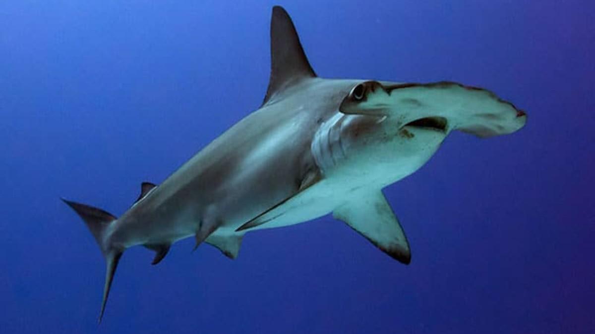 bucear-tiburon-martillo (1)