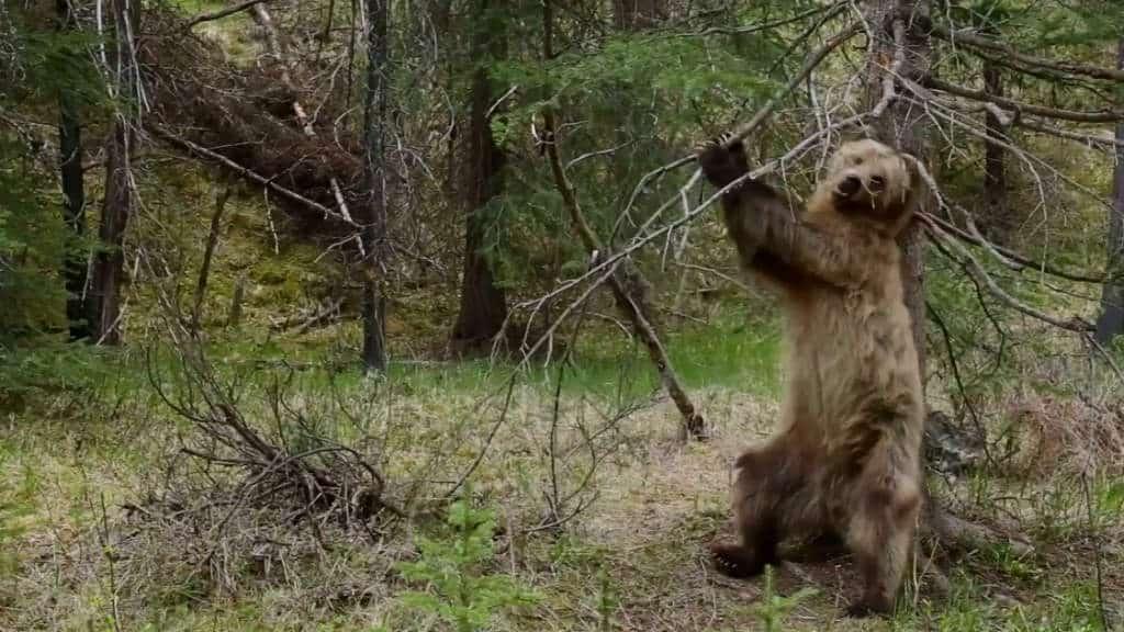 osos-bailadores-bbc