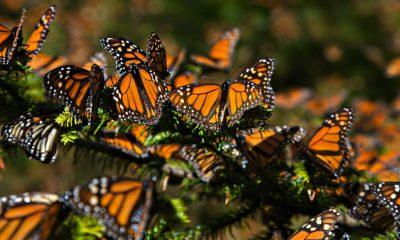mariposas-monarca-michoacan