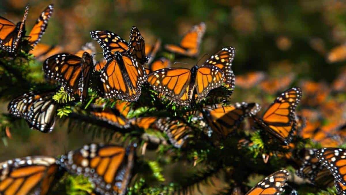Mariposa-monarca-Michoacán-1000×576 (2)