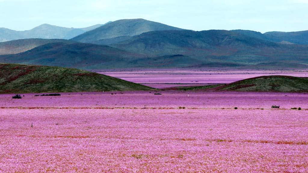 Existen flores en el desierto? en Atacama todo es posible