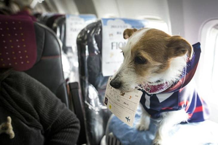 japan airlines petfriendly (4)