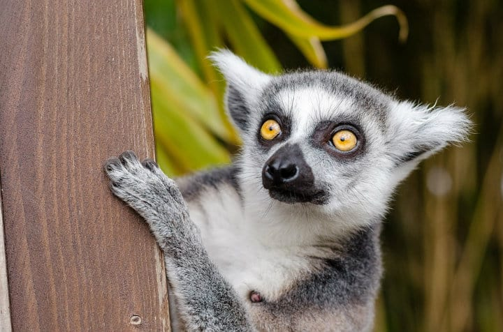 El famoso lemur de Madagascar. Foto: Archivo