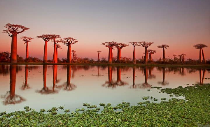 Árboles Baobab. Foto: Archivo