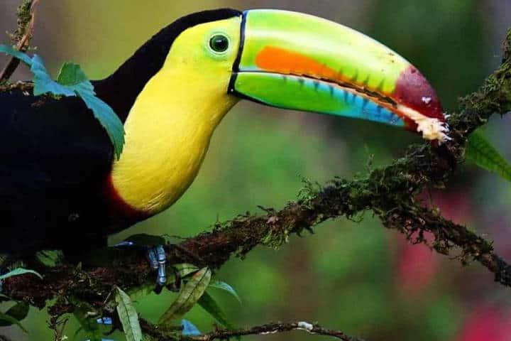 Foto de Tucán. Imagen: Costa Rica. Archivo