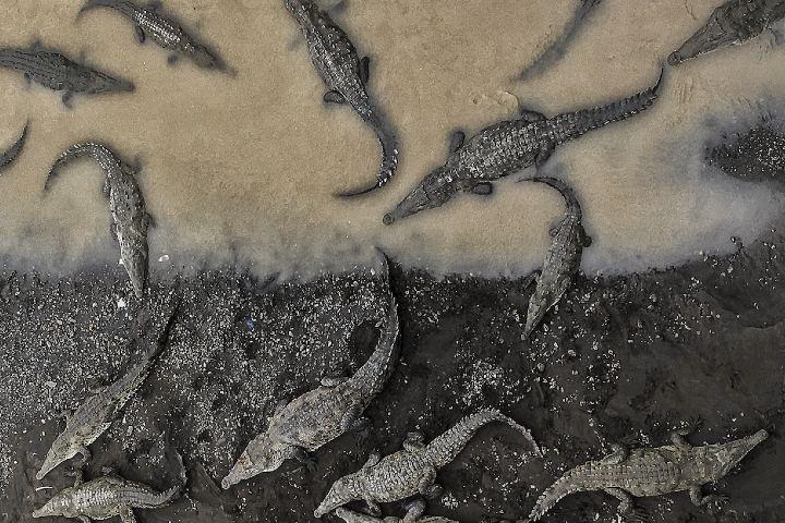 Cocodrilos en rio Tarcoles. Foto: National Geographic