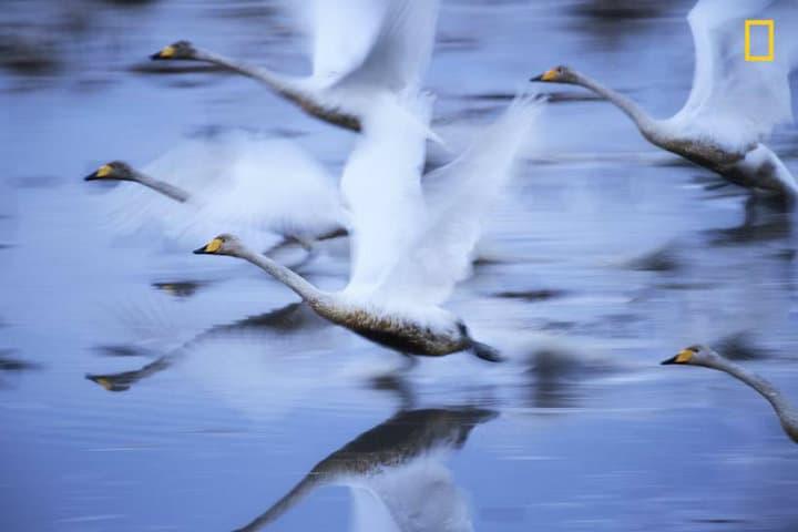 Cisnes: Foto: National Geographic