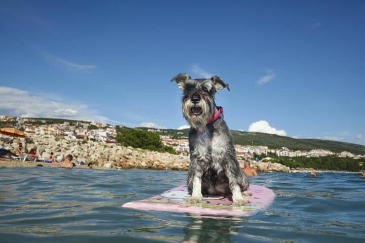 Lomito surfista. Imagen: Archivo.
