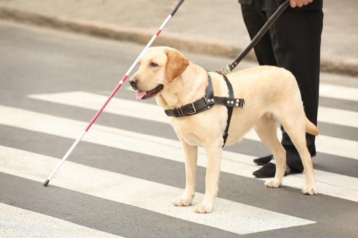 Guide Dogs Victoria. Foto: Discrimination Claims.