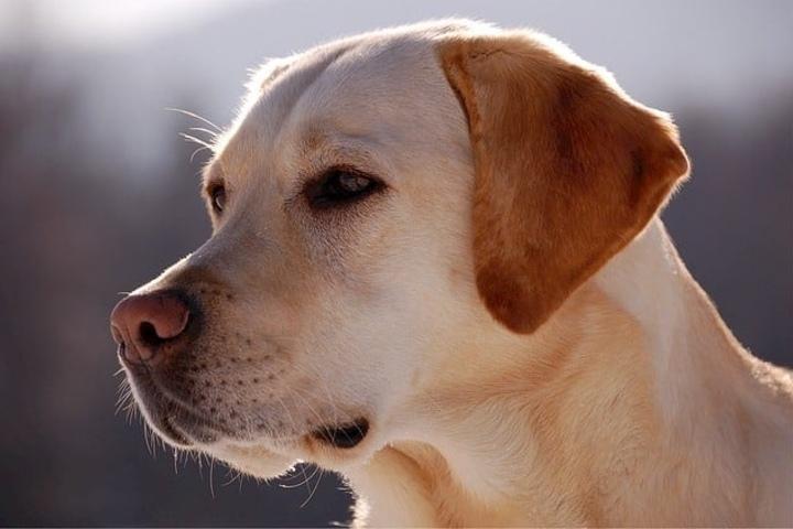 Perro Labrador. Foto_ Cumbre Pueblos.