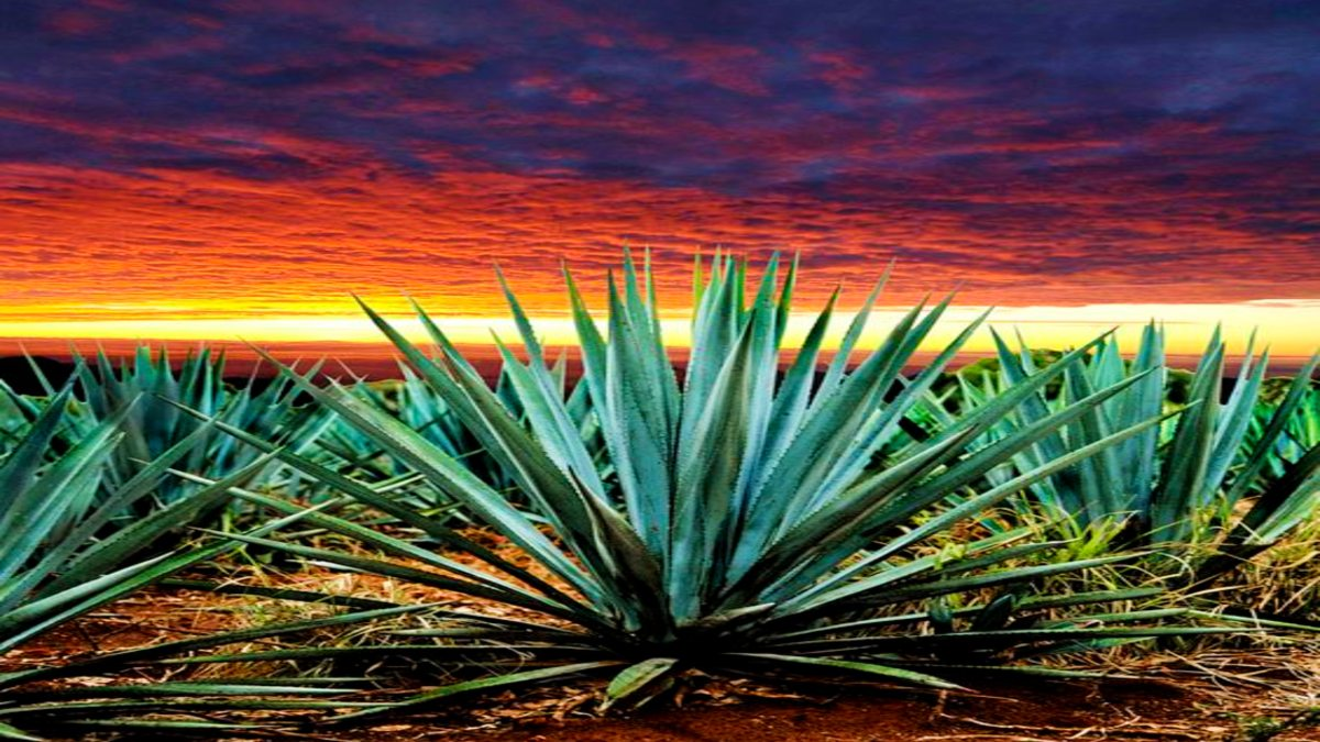 Experiencia en el Pueblo mágico de Tequila. Foto Jesús Cervantes Gallegos