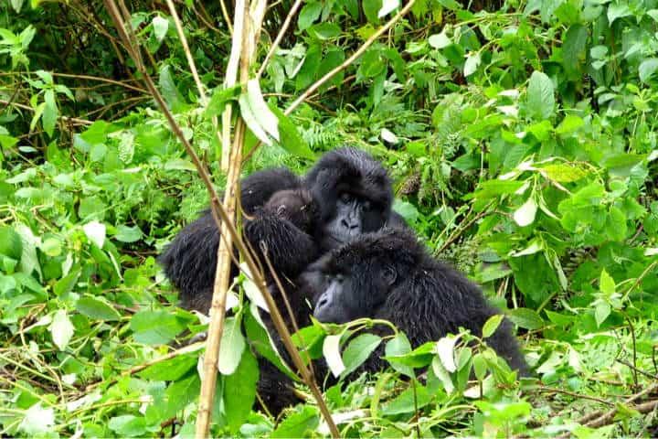 Ruanda Gorilas Foto Dimitri 66 b