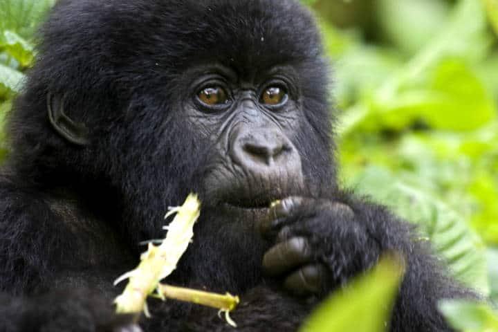 Ruanda Gorilas Foto Hjalmar Gislason 1