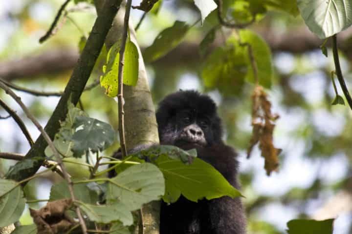 Ruanda Gorilas Foto Hjalmar Gislason 4
