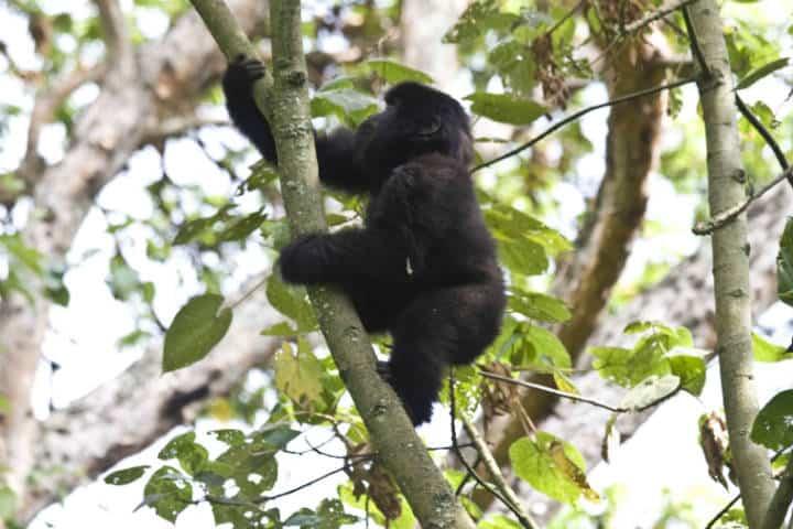 Ruanda Gorilas Foto Hjalmar Gislason 5