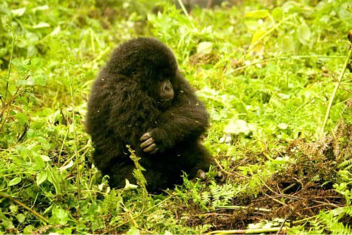 Ruanda Gorilas Foto Ramón Azofra 1