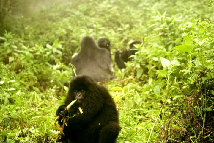 Ruanda Gorilas Foto Ramón Azofra 2