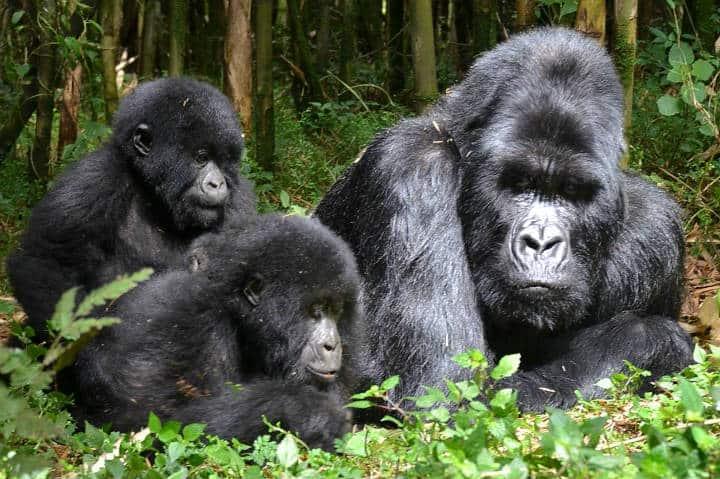 Ruanda Gorilas Foto Thomas Becker 2