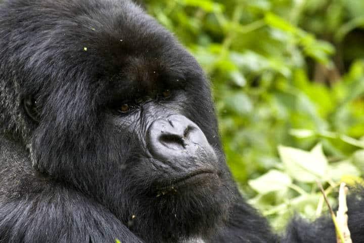 Ruanda Gorilas Foto Thomas Becker 3