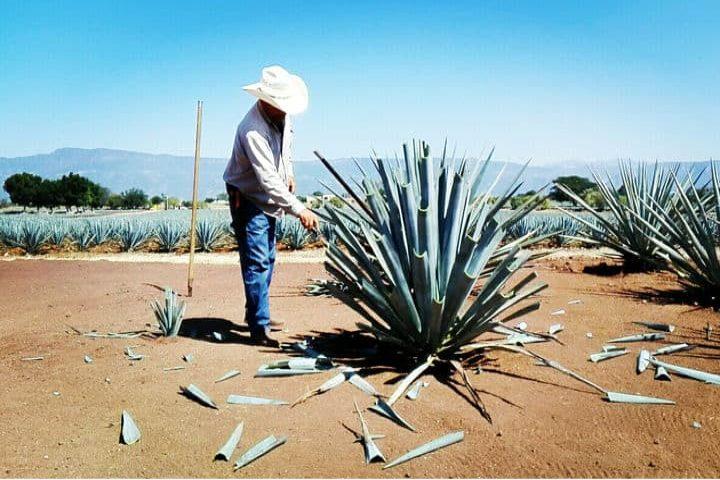 Tacto Tequila (Jimador) . Foto Archivo.