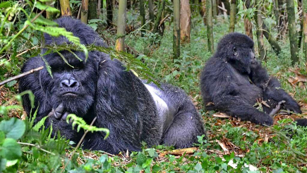 Ruanda Gorilas Foto Thomas Becker 1