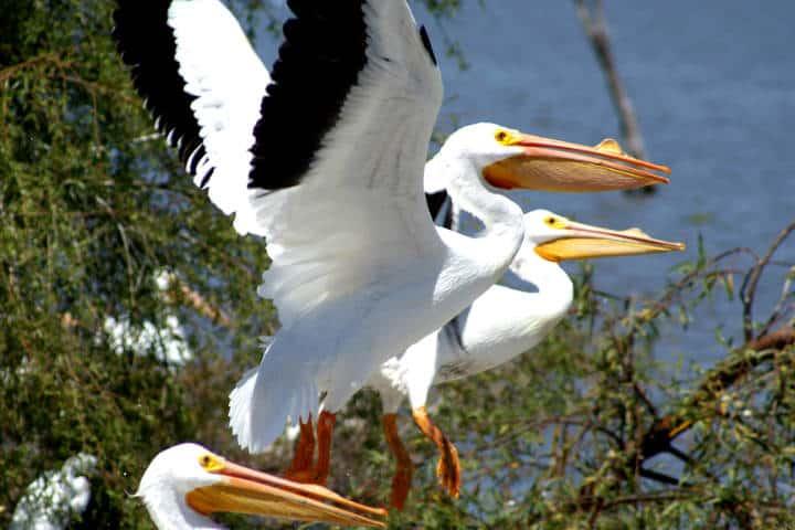 Pelicanos borregones Foto José Enrique 2